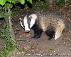 Spotted any badgers in Dulwich recently?  Researcher looking for help.